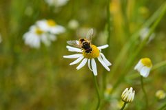 Insect on chamomile Stock Photo