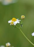 Insect on Chamomile flower Royalty Free Stock Images
