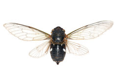 Insect cicada Stock Image