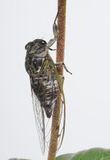 Insect, Cicada. Green cicada grasping a stem Stock Photos