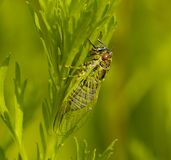 Insect a cicada Stock Photography