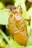 Insect cicada. Stock Photos
