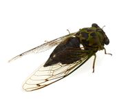Insect of cicada alive Royalty Free Stock Image
