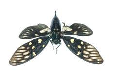 Insect cicada bug isolated Stock Photo
