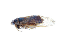 Insect cicada isolated Royalty Free Stock Image