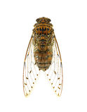 Insect cicada isolated on white background. Royalty Free Stock Images