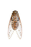 Insect cicada isolated on white background. Stock Images