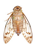 Insect cicada macro Royalty Free Stock Image