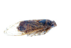 Insect cicada macro isolated Royalty Free Stock Photography