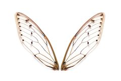 Insect cicada wings stock photography