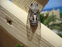 insect Cicada on a wood Board Stock Photo