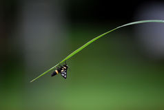 Insect climbing. Insect was climbing on the grass blade Stock Images