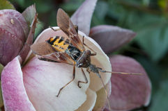 Insect close up. Assassin bug, erythropus mimicking hornet on a flower Royalty Free Stock Images