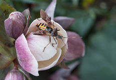 Insect close up. Assassin bug, erythropus mimicking hornet on a flower Royalty Free Stock Photo