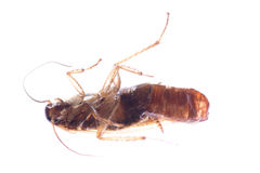 Insect cockroach bug with egg pouch Royalty Free Stock Image