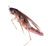 Insect cockroach bug with egg pouch Royalty Free Stock Photo