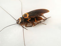 Insect. Cockroach on white Royalty Free Stock Photography
