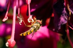 Insect Collecting Nectar Stock Image