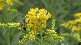 Insect collects nectar in the flower stock video footage