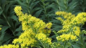 Insect collects nectar on yellow flower stock footage
