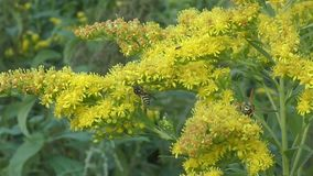 Insect collects nectar on yellow flower stock video footage