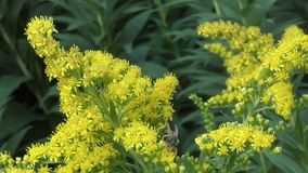 Insect collects nectar on yellow flower stock video