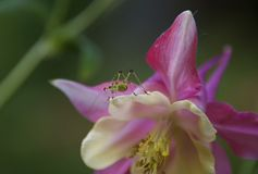 INSECT ON THE COLUMBINE. Small, green insect climbing on a pink Columbine flower Stock Photography
