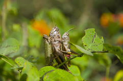 Insect couple Stock Images
