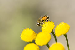 Insect Covered in Pollen on Flower Stock Images
