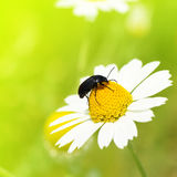 Insect crawling on camomile Royalty Free Stock Photo