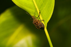 Insect on leaf. Insect crawling on a leaf Royalty Free Stock Photos