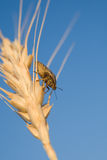 Insect Crawling On Wheat Crops Royalty Free Stock Photography