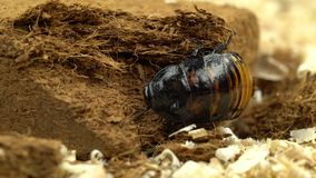 Insect creeps on the sawdust is the Madagascar cockroach. Insect creeps on the sawdust this Madagascar cockroach is an exotic and ugly creature stock footage
