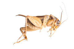 Insect cricket Stock Photography