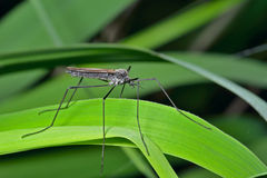 Insect daddy-long-legs 4 Stock Images