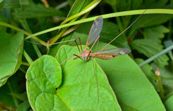 Insect daddy-long-legs 5 Stock Photography