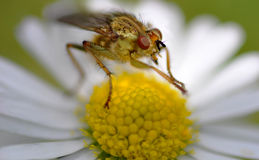 Insect on a daisy. An insect sat on a daisy rubbing its legs together Stock Photo