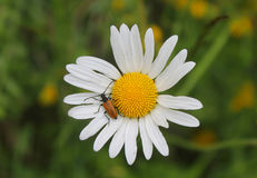 Insect on a daisy flower Royalty Free Stock Photo