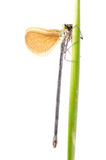 Insect damsefly dragonfly isolated Royalty Free Stock Photos