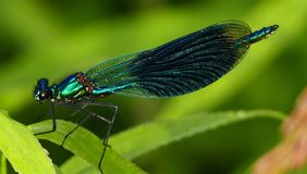 Insect, Damselfly, Dragonflies And Damseflies, Dragonfly