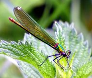 Insect, Damselfly, Dragonfly, Dragonflies And Damseflies stock images