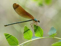 Insect, Damselfly, Dragonfly, Dragonflies And Damseflies stock photos