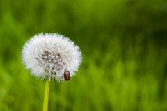 Insect on a dandelion. Dandelion on a green background Stock Photos