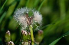 Insect dat een paardebloem eet stock foto's