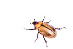 Insect dat op wit wordt geïsoleerda Stock Foto's