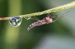 Insect  with dew drops Stock Image