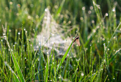 Insect in dew drops on the grass Stock Image