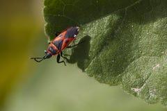 Insect die aan het eind van een blad kruipen Stock Foto's