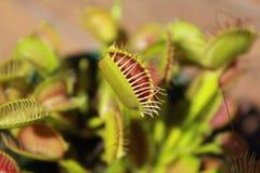 Insect die installaties, venus vliegval eten royalty-vrije stock foto