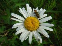 Insect die op het bloeien Daisy kruipen stock afbeelding